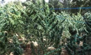 Ηράκλειο: Εντοπίστηκε φυτεία με 40 δενδρύλλια ινδικής κάνναβης, ύψους έως και 4 μέτρων!