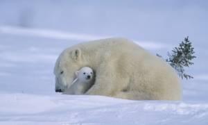 Κόβουν... πρόστιμο σε όσους «ενοχλούν» τις πολικές αρκούδες στην Αρκτική!