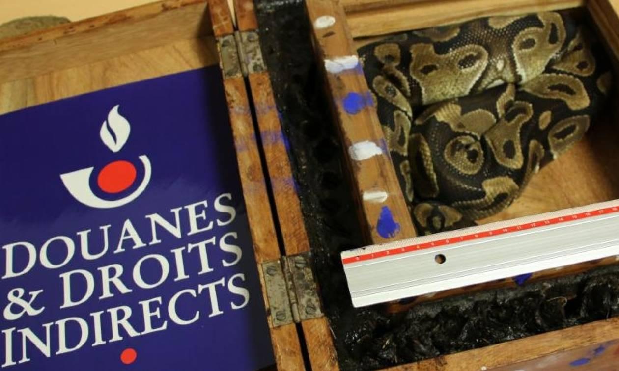 Γαλλία: Πανικός σε αεροδρόμιο από πύθωνα σε αποσκευές επιβάτη! (vid)