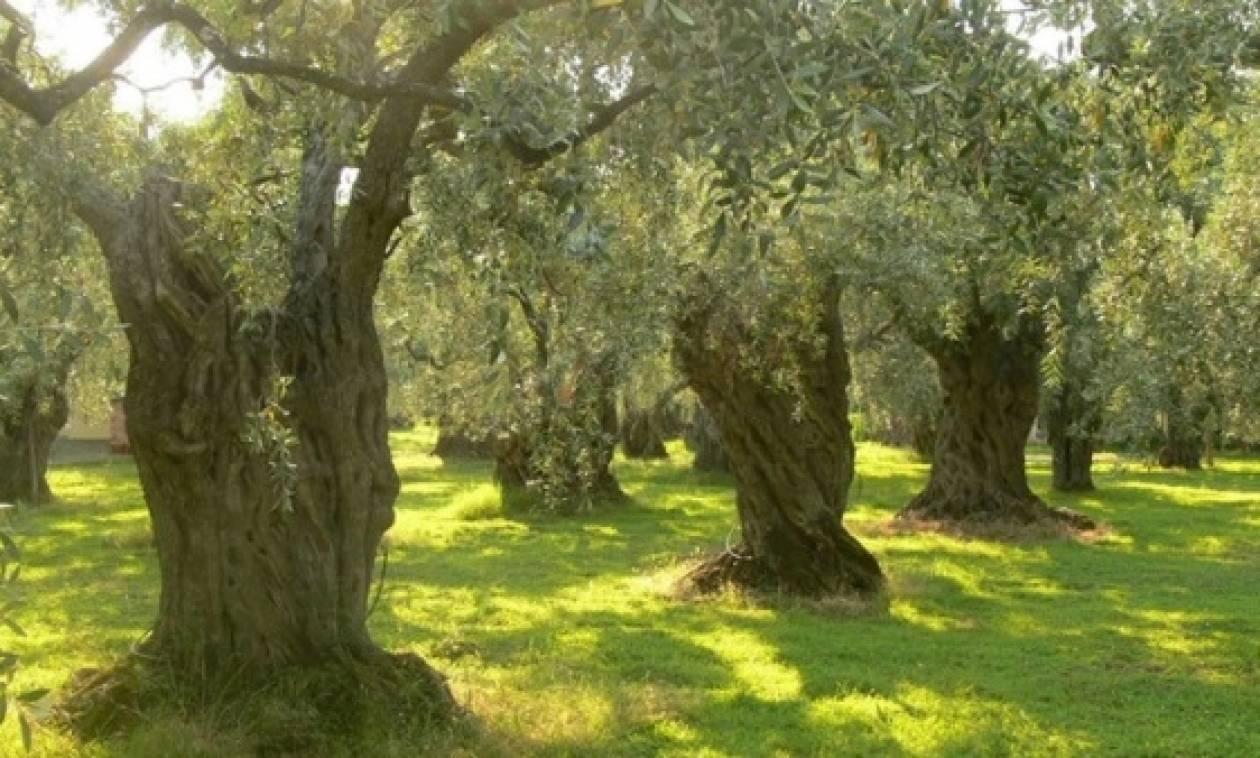 Πρόγραμμα τεχνητής νοημοσύνης για τα παράσιτα στα ελαιόδεντρα