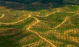 Δενδροφυτεύσεις για την αύξηση παραγωγής του φοινικέλαιου στην Ινδονησία