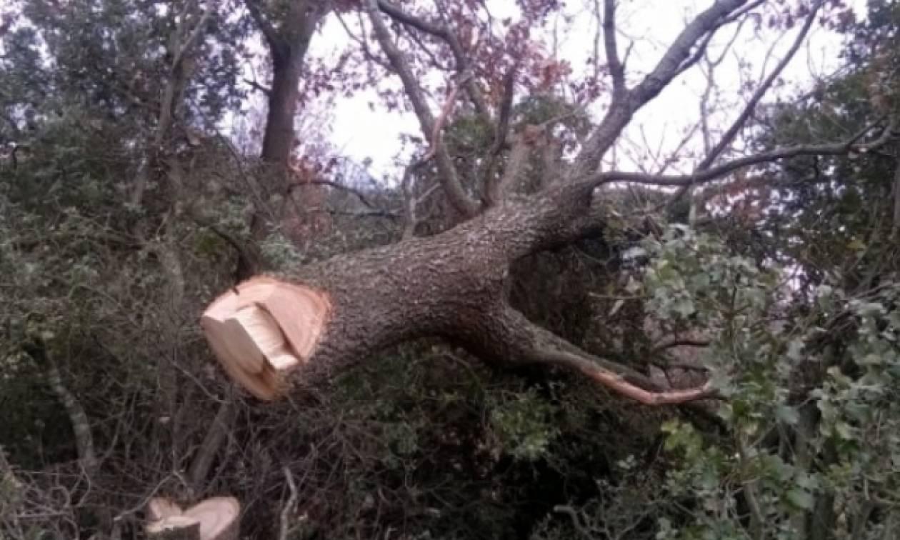 Τραγωδία στη Φθιώτιδα: Τον πλάκωσε το δέντρο που έκοβε