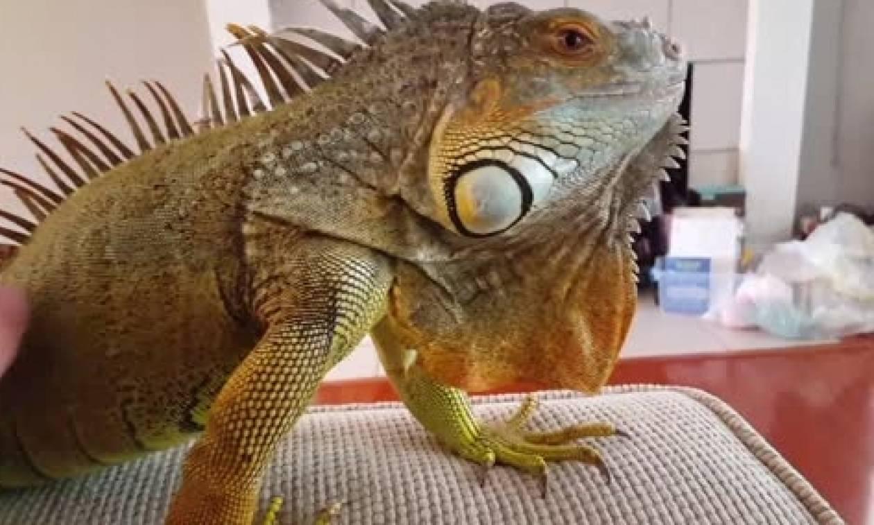 Εβλεπε ατάραχος τηλεόραση, όταν ξαφνικά είδε το τεράστιο ιγκουάνα του να... (video)