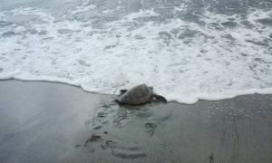 Απίστευτο βίντεο: Σε ποιο μέρος της Ελλάδας μαζεύτηκαν 100 χελώνες