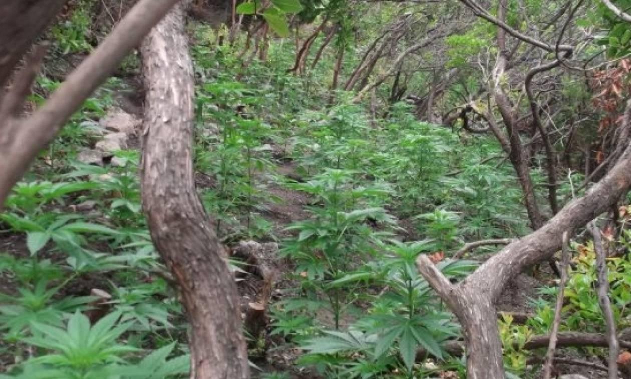 Χανιά: Εντοπίστηκε «ορφανή» φυτεία δενδρυλλίων κάνναβης σε ορεινή περιοχή