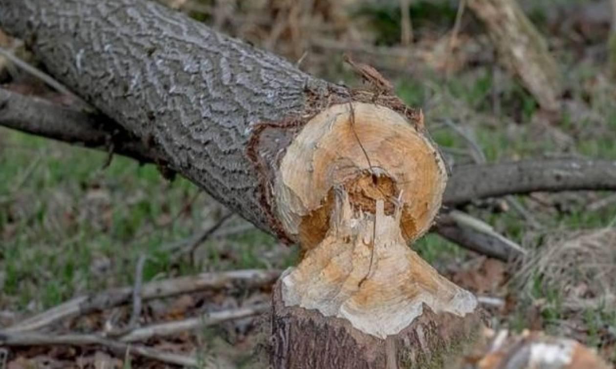 Παραλίγο τραγωδία στη Φθιώτιδα: Τον τραυμάτισε το δέντρο που έκοβε
