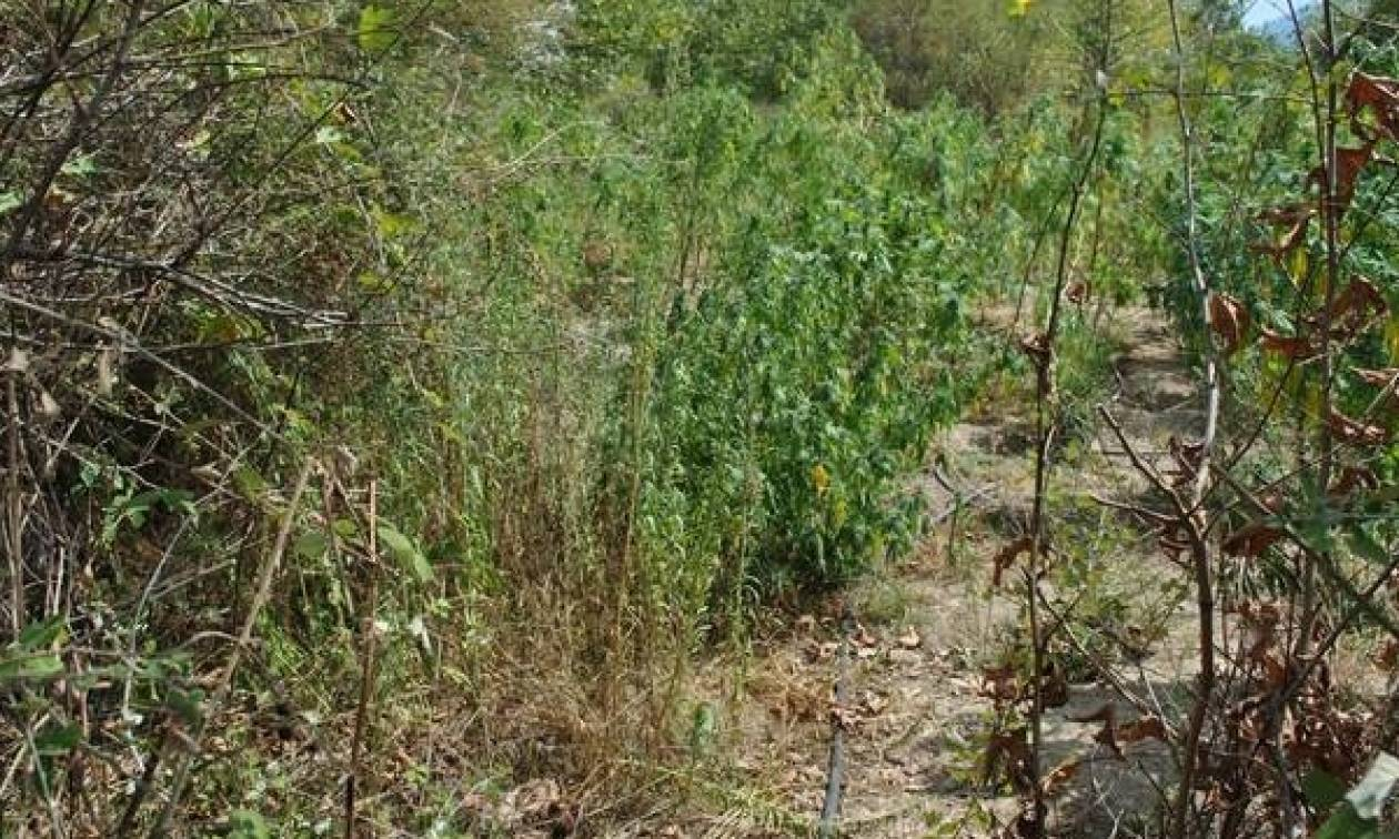 Είχαν μετατρέψει τον Λαγκαδά σε «δάσος» κάνναβης