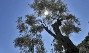 Ασύλληπτη τραγωδία στο Μέτσοβο - Τον καταπλάκωσε το δέντρο που έκοβε