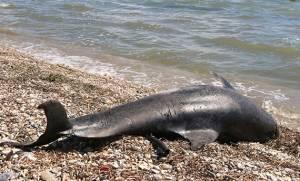 Πάτρα: Νεκρό δελφίνι ξεβράστηκε σε παραλία (pics)