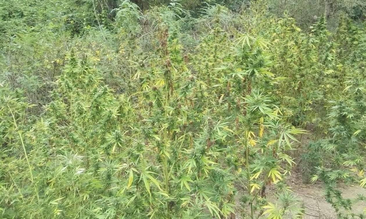 Είχε φυτέψει στα χωράφια του δενδρύλλια «γίγαντες»
