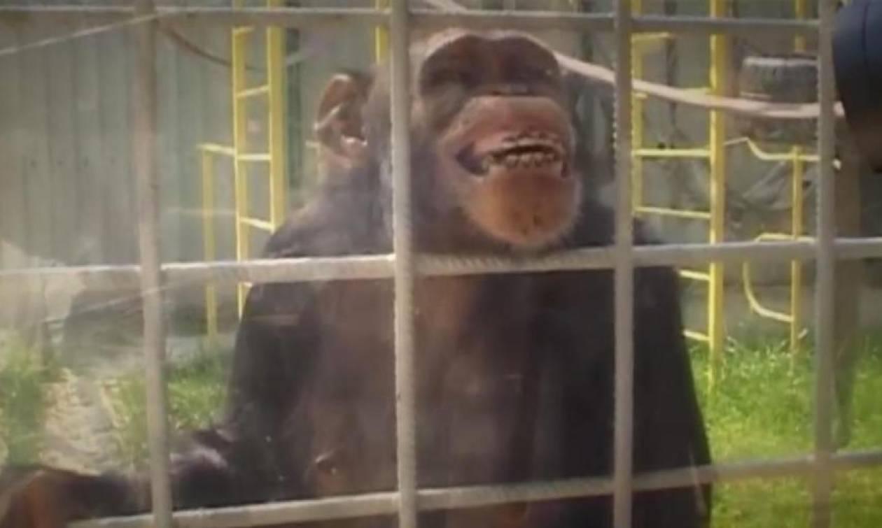 Ζηλιάρης χιμπατζής επιτέθηκε σε υπάλληλο ζωολογικού κήπου επειδή «φλέρταρε» με τη φίλη του! (pics)