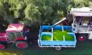 Οι Αυστραλοί μαζεύουν τις ελιές με πατέντα που θα σας τρελάνει! (video)