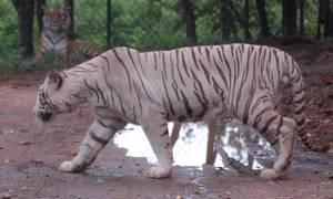Φρίκη σε ζωολογικό κήπο: Τίγρεις κατασπάραξαν υπάλληλο