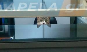 ΕΠΙΚΟ: Γάτα ο... Γραμματέας του Τμήματος Επειγόντων Περιστατικών του νοσοκομείου Σπάρτης!
