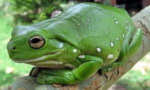 Εικόνα – σοκ: Βάτραχος καταπίνει ζωντανό φίδι που «ουρλιάζει»
