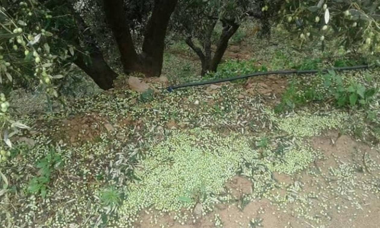 Καιρός - Κρήτη: Το χαλάζι κατέστρεψε την ελαιοπαραγωγή (pics)