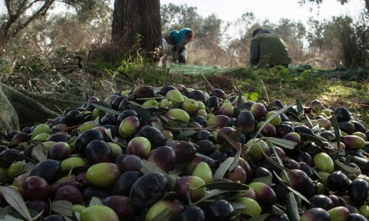Προσοχή! Σπείρες «ρημάζουν» ελαιόδεντρα – Έξαλλοι οι αγρότες