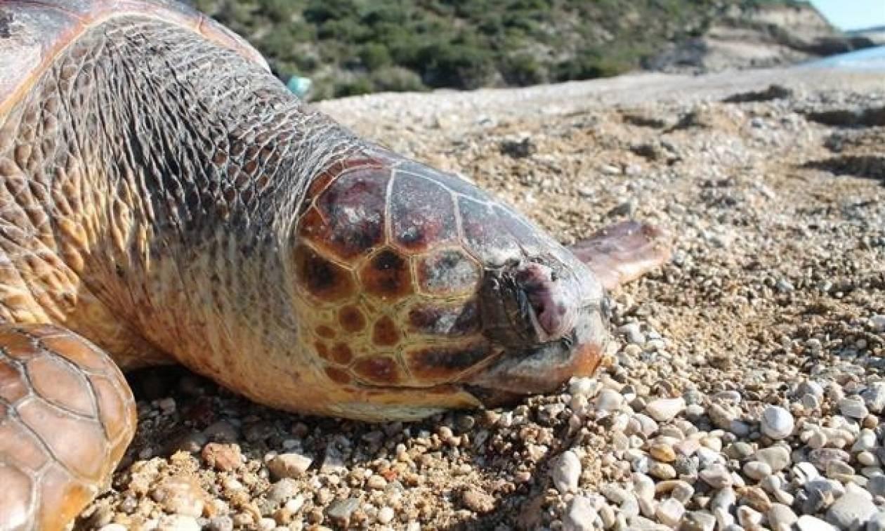 Τρόμος και ανησυχία στην Ελούντα: Φώκια επιτίθεται και σκοτώνει χελώνες της περιοχής
