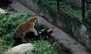 Σοκ: Τίγρη κατασπαράζει υπάλληλο ζωολογικού κήπου (Σκληρές εικόνες)