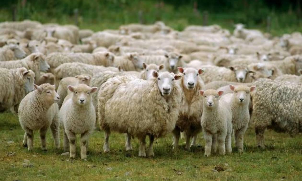 Τα πρόβατα είναι ικανά να αναγνωρίσουν ανθρώπινα πρόσωπα από φωτογραφίες!