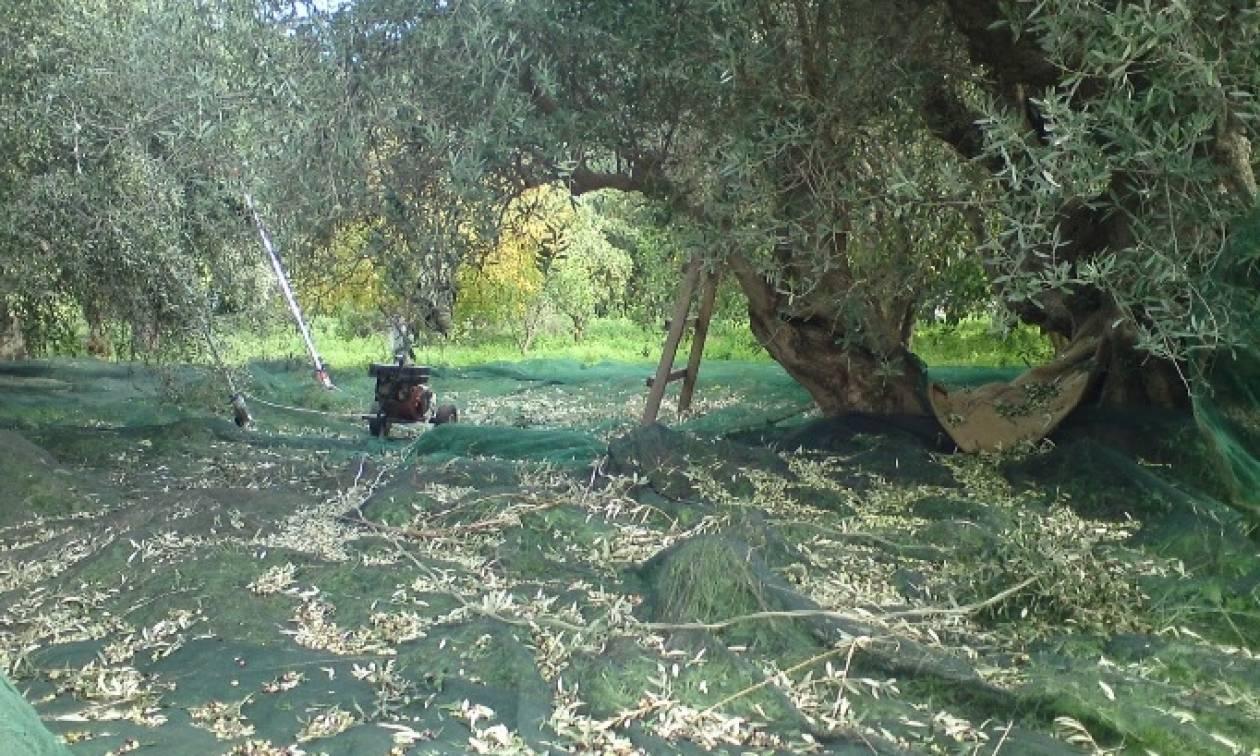 Πήγε να μαζέψει ελιές και έπαθε ΣΟΚ με αυτό που είδε στο χωράφι του (pics)
