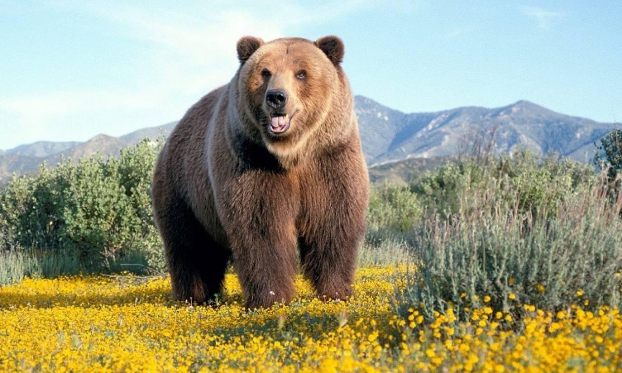 Απορρίφθηκε το αίτημα αποζημίωσης για το θάνατο γυναίκας από καφέ αρκούδα