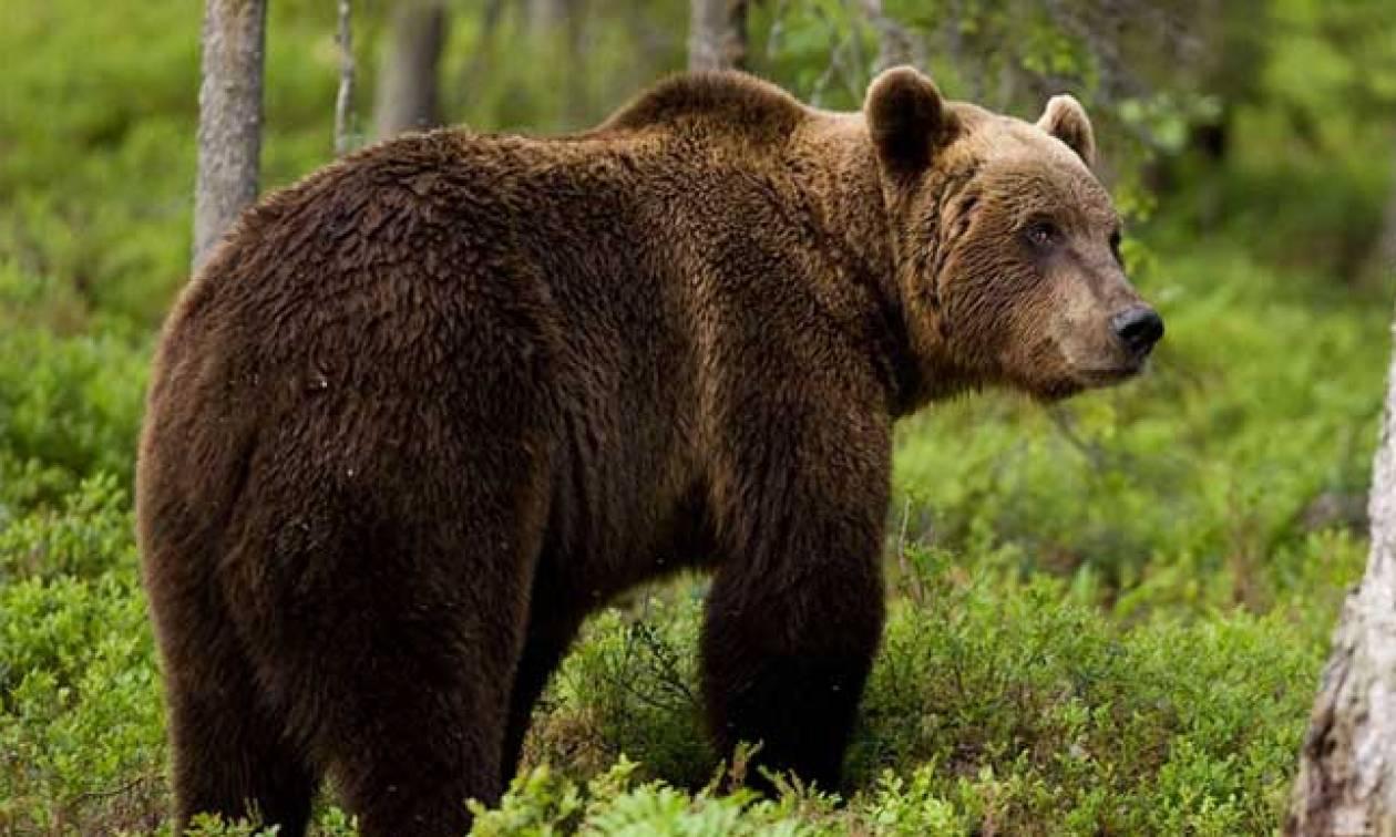 Μέτσοβο νέα: Τη σκότωσε αρκούδα, αλλά οι συγγενείς της δεν δικαιούνται αποζημίωσης