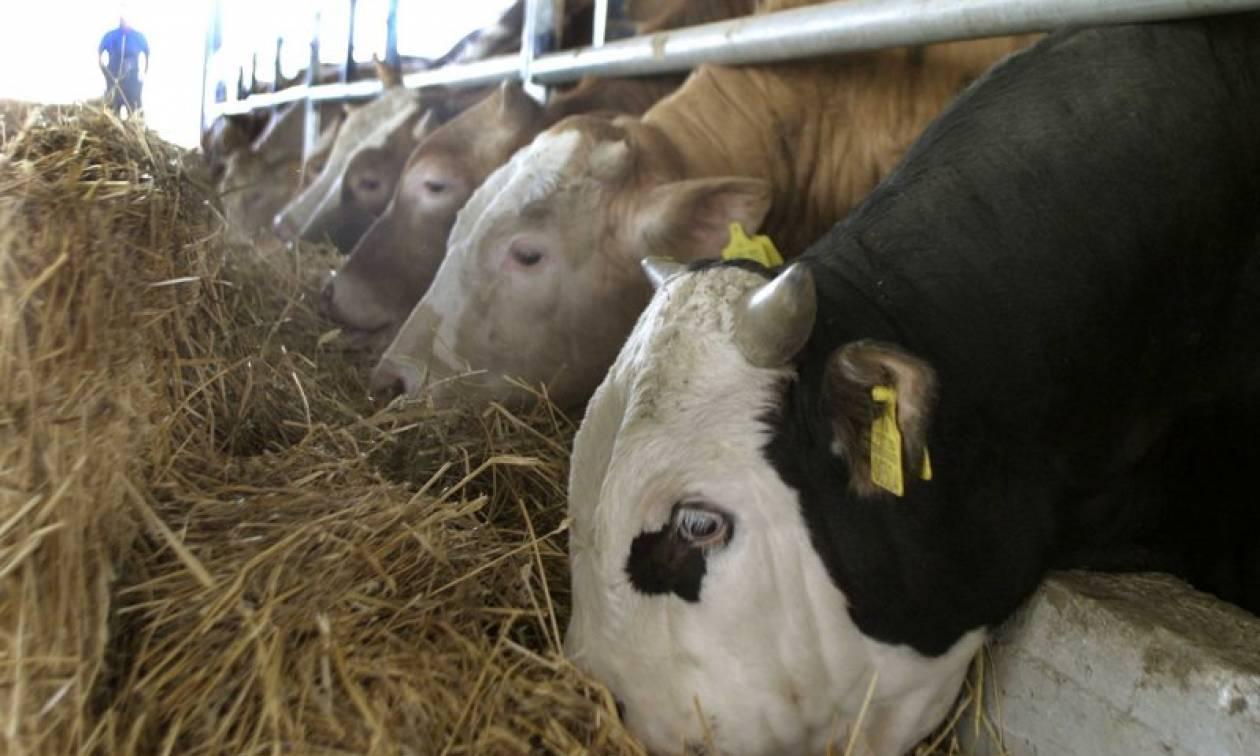 Συναγερμός στην Ισπανία: Εντοπίστηκε κρούσμα της νόσου των «τρελών αγελάδων»