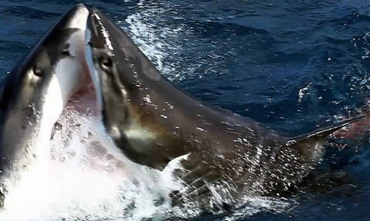 Σοκαριστική μονομαχία δύο καρχαριών μπροστά στην κάμερα (video)