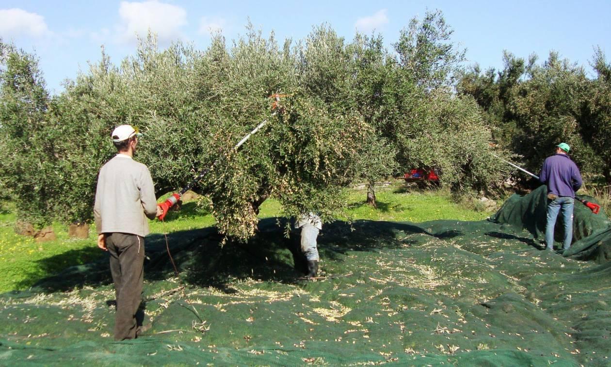 Μάζεμα της ελιάς: Συμβουλές για τη συγκομιδή των ελαιοκάρπων