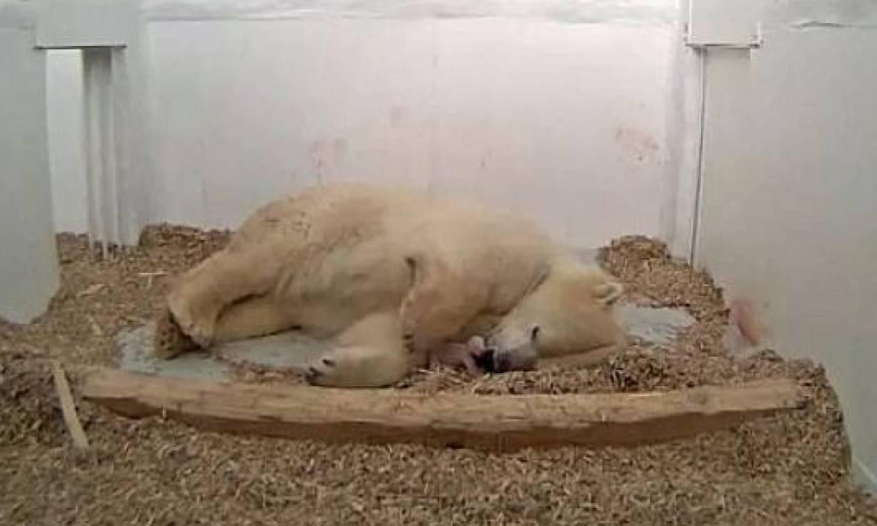 Πολική αρκούδα γέννησε το αρκουδάκι της μπροστά στις κάμερες (video)