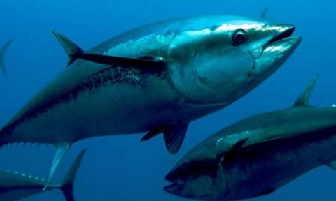 На Кипре увеличена квота вылова голубого тунца
