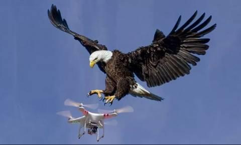 Η παράξενη είδηση της ημέρας: Απολύθηκαν από την αστυνομία οι αετοί που κατέρριπταν drones (Vid)