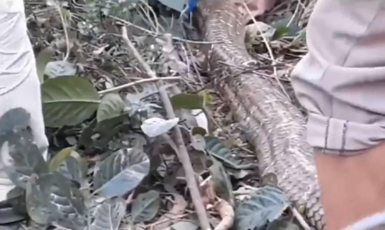 Δεν πίστευαν στα μάτια τους! Είναι αυτό το μεγαλύτερο φίδι στον κόσμο; (video)