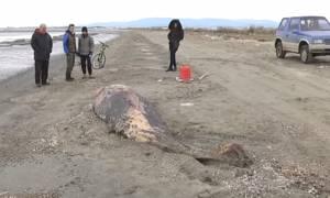Αρχαίο είδος φάλαινας που μοιάζει με δελφίνι ξεβράστηκε σε ακτή της Αλεξανδρούπολης (vid)