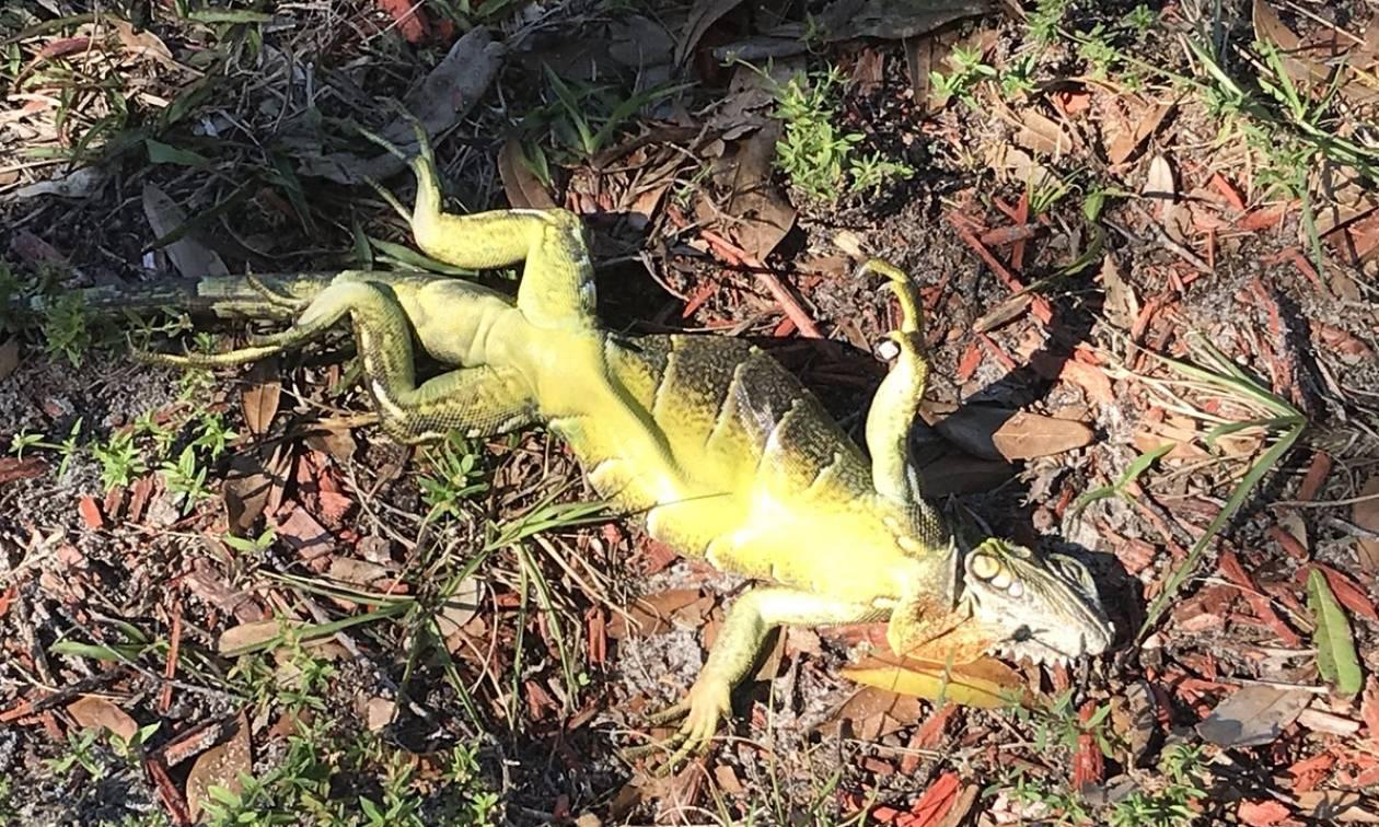Αποκαρδιωτικές εικόνες: Κάνει τόσο κρύο στη Φλόριντα που τα ιγκουάνα πέφτουν από τα δέντρα