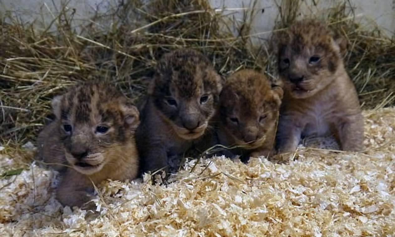 Έγκλημα σε ζωολογικό κήπο: Θανάτωσαν 9 υγιέστατα λιονταράκια