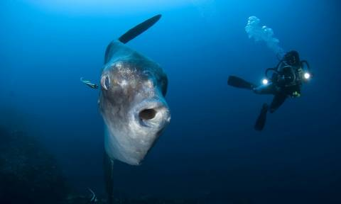На Закинфосе рыбаки обнаружили огромную рыбу-солнце