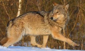 Βρετανία: Λύκος το έσκασε από καταφύγιο, «κλειδωμένοι» οι μαθητές γειτονικού σχολείου