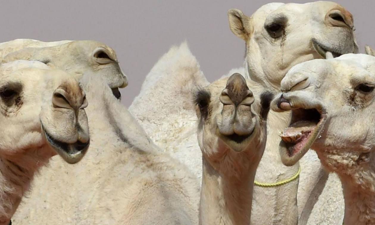 Απίστευτο σκάνδαλο σε καλλιστεία για καμήλες: 12 διαγωνιζόμενες είχαν κάνει… Botox!