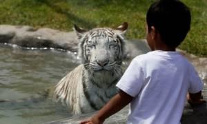 Συγκλονιστικό στιγμιότυπο: Λευκή τίγρης σκότωσε αγόρι σε ζωολογικό κήπο στο Νέο Δελχί (photo)