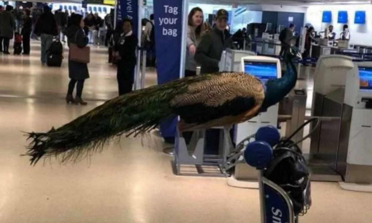 Συνέβη κι αυτό: Γυναίκα ήθελε να πετάξει για Λος Άντζελες παρέα με το… παγώνι της! (pics)