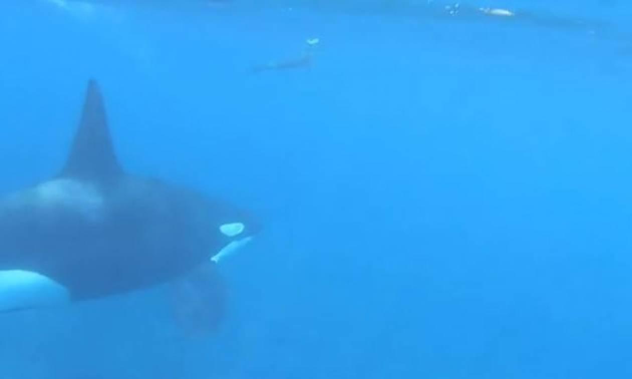 Φάλαινα κυνηγά θαλάσσιο ελέφαντα. Ποιος θα νικήσει; (video)
