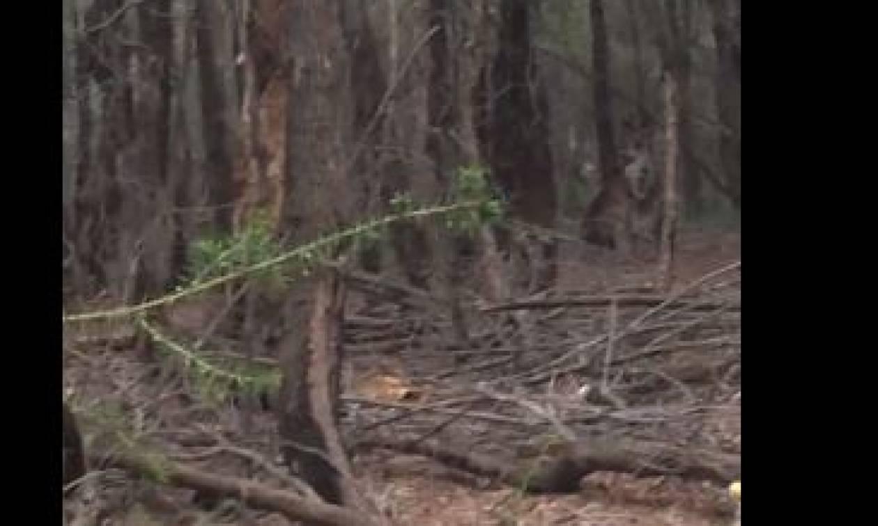 Τρελό ξύλο στο δάσος! Δύο καγκουρό λύνουν τις διαφορές τους, χωρίς να υπολογίζουν τίποτα (video)