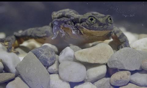 Μοναχικός βάτραχος ψάχνει το άλλο του μισό μέσω... Match.com