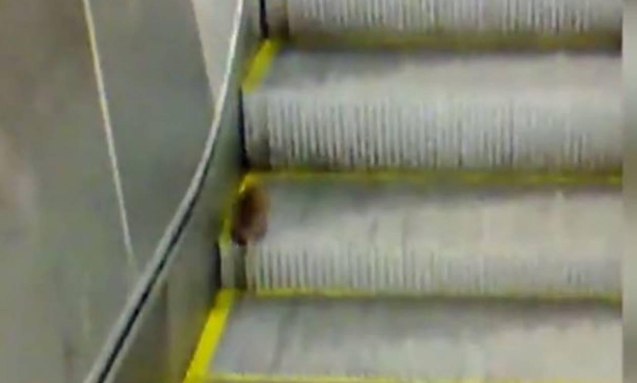 Αρουραίος εγκλωβίστηκε κι επιχειρεί να ανεβεί κυλιόμενη σκάλα! Θα τα καταφέρει; (video)