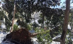 Σαρώνει το κύμα κακοκαιρίας: Ξεριζώθηκαν δέντρα από τον χιονιά (pics)