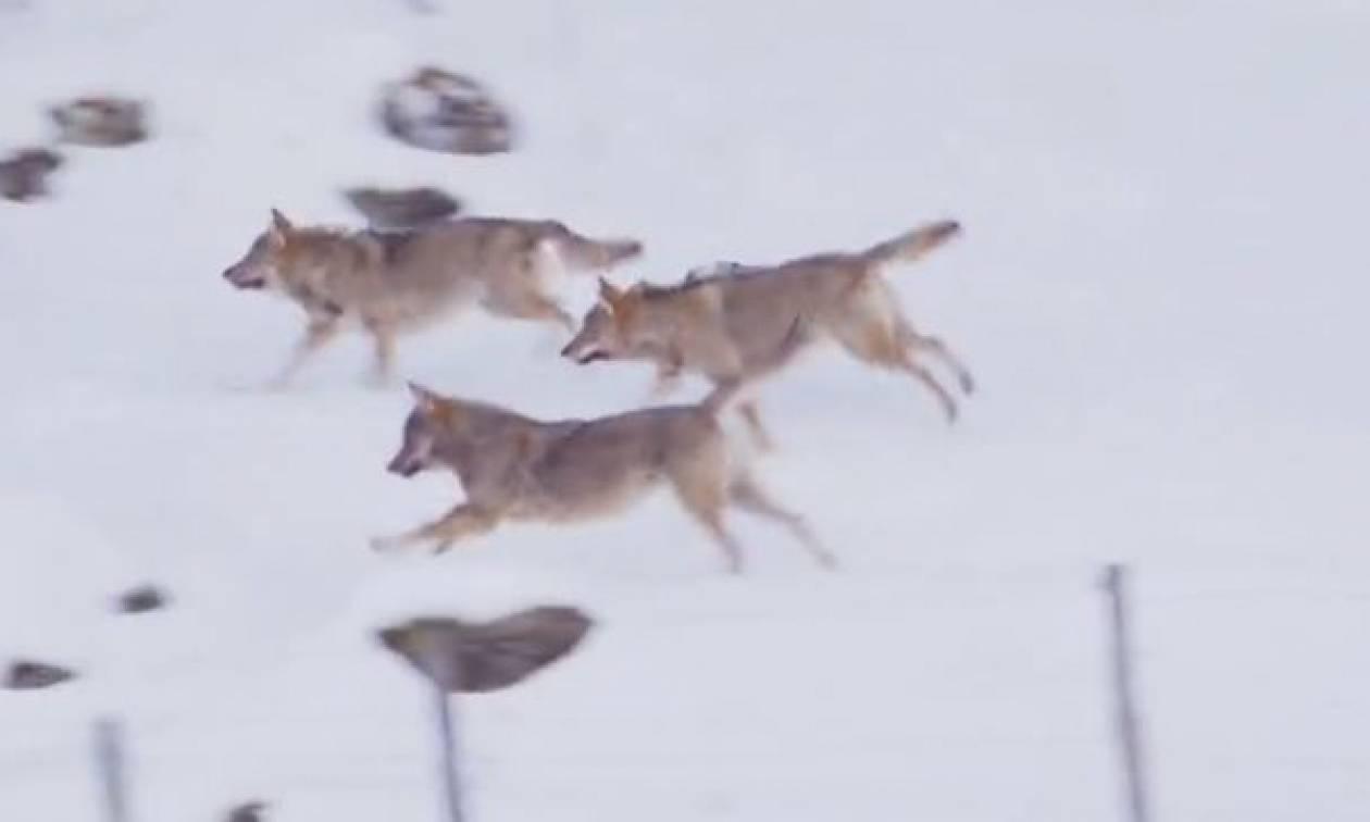Τρεις λύκοι επιχειρούν να κατασπαράξουν ένα σκύλο. Δεν περίμεναν ποτέ πως εκείνος... (video)
