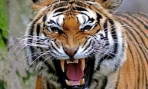 Βίντεο – σοκ: Τίγρης κατασπάραξε το φύλακα του ζωολογικού κήπου που την μεγάλωσε