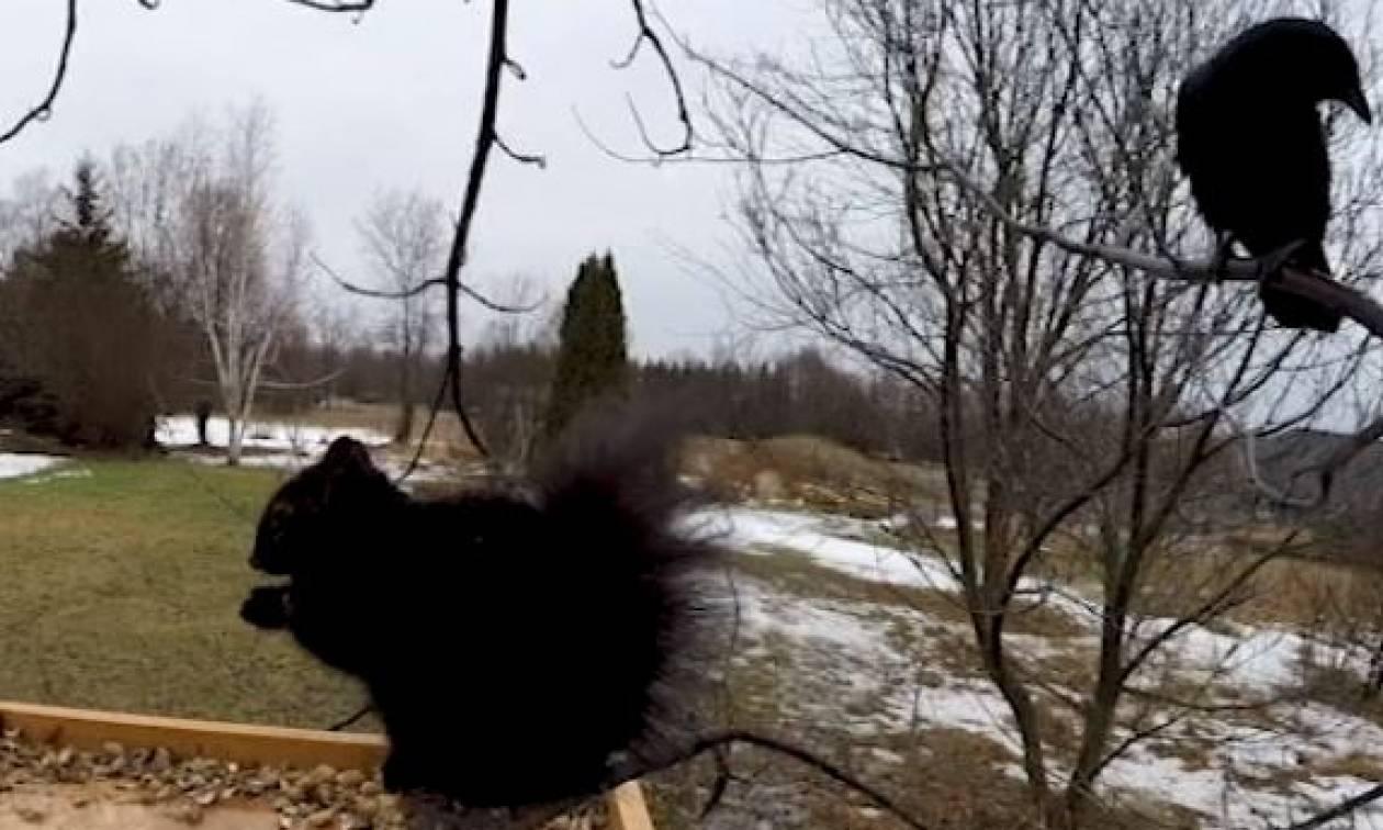 Τι μπορεί να κάνει ένα κοράκι σ' ένα σκίουρο που τρώει φυστίκια; (Video)